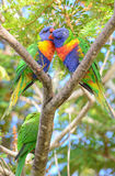 Wild rainbow lorikeet parrots. Rainbow lorikeet parrots grooming in Queensland, Australia Stock Photo