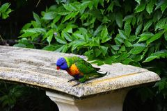 Rainbow Lorikeet on a Seat royalty free stock image