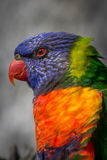 Wild Rainbow Lorikeet. Sunbury, Victoria, Australia, December 2016. Portrait of a wild Rainbow Lorikeet in Sunbury, Victoria, Australia stock photo