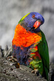 Wild Rainbow Lorikeet, Sunbury, Victoria, Australia, November 2016. A wild Rainbow Lorikeet perched in Sunbury, Victoria, Australia stock images