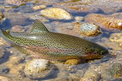 Wild rainbow trout in Idaho stock photo