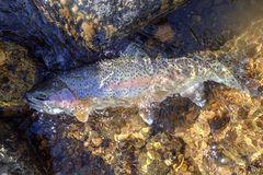 Wild rainbow trout caught in the Rocky Mountains stock photo