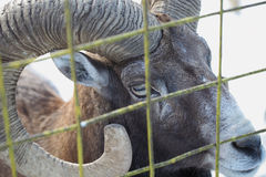 Wild ram in captivity Stock Photo