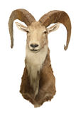 Wild ram Marco Polo Stock Photo