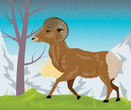 Wild Ram in the Mountains Stock Images