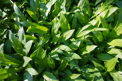 Wild ramsons. Wild fresh and ripe ramsons in forest in spring time Stock Photos