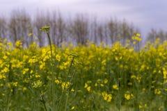 Wild rape in the fields stock image