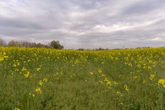 Wild rape in the fields royalty free stock images
