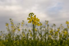 Wild rape in the fields stock images