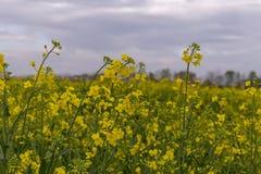 Wild rape in the fields stock photo