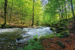 Wild rapid river in the ancient beech forest. Stones covered in moss. low angle viewpoint. powerful water flow. beautiful nature background. refreshing summer stock image