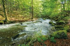 Wild rapid river in the ancient beech forest. Stones covered in moss on the shore of a powerful water flow. beautiful nature background. refreshing summer royalty free stock photo