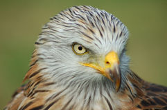 Wild raptor. Waiting falcon, be gimlet eyed Stock Photo