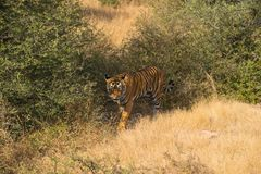 Wild free Indian Tiger Ranthambore royalty free stock photography