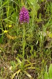 Wild orchid hybrid plant and flowers - Anacamptis x simorrensis. Wild and rare orchid hybrid Anacamptis x simorrensis. It`s an hybrid between Pyramidal Orchid Royalty Free Stock Image