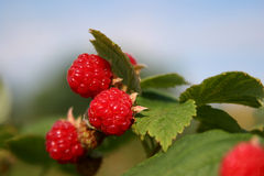 Wild Raspberries Royalty Free Stock Photos