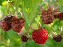 Wild raspberries Royalty Free Stock Photo