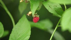 Wild raspberries on the branch stock footage