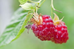 Wild raspberries. The gathering in the forest ripe raspberries Royalty Free Stock Photos