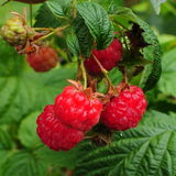 Wild raspberries Royalty Free Stock Photography