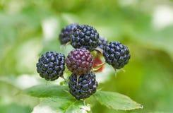 Wild raspberries in the woods Royalty Free Stock Photo