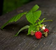 Wild raspberry branch Stock Image