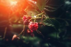 Wild raspberry on branch in nature forest, macro shot with selective focus, sunlight and toned. Wild raspberry on branch in nature forest, macro shot with royalty free stock photography