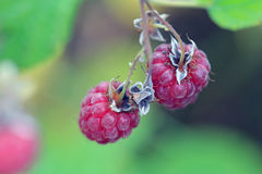 Wild Raspberry Close Up. Close up of ripe, red wild Raspberries (Rubus spp) growing in nature. Shallow depth of field Stock Photos