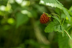 Wild Raspberry. Detail of rip wild raspberry Royalty Free Stock Image