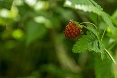 Wild Raspberry Royalty Free Stock Image