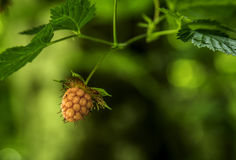 Wild Raspberry. Detail of unripened wild raspberry Royalty Free Stock Image