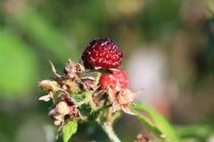 Wild Raspberry Stock Image