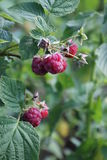 Wild raspberry Stock Photos