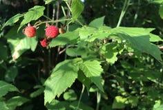 Wild Raspberry plants Genus Rubus Speciies Stock Photos