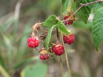 Wild Raspberry Plants. Red Berry Plants on a hiking trail in autumn Stock Photo