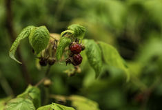 Wild raspberry Royalty Free Stock Photography