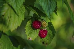 Wild raspberry from Siberia royalty free stock photography