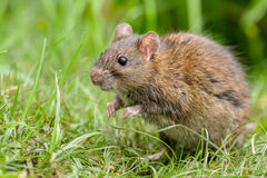 Wild Rat. Cautious Brown rat in the wild standing on two feet Royalty Free Stock Images