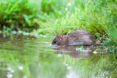 Wild rat Royalty Free Stock Image