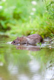 Wild rat Stock Images
