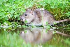 Wild rat Royalty Free Stock Photo