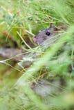 Wild rat Royalty Free Stock Photos