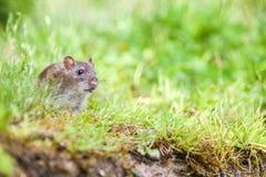 Wild rat Royalty Free Stock Images