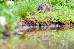 Wild rat Stock Photography