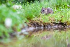 Wild rat Stock Image