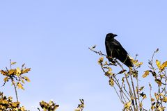 Wild raven in park - Bedfont Lakes Country Park Stock Images