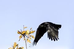 Wild raven in park - Bedfont Lakes Country Park Stock Photos