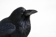Wild Raven Stock Photography
