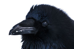 Wild Raven Royalty Free Stock Photography