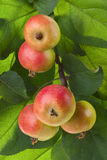 Wild red apples on a branch. With green leaves. Closeup Stock Image